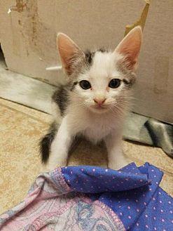 Domestic Shorthair Kitten for adoption in Palm Desert, California - CJ