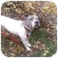 Photo 2 - American Pit Bull Terrier Dog for adoption in Vernon Hills, Illinois - Chips