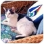 Photo 2 - Domestic Shorthair Cat for adoption in Jenkintown, Pennsylvania - Curly