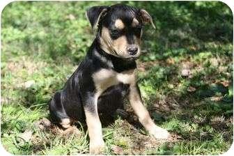 German Shepherd Dog/Boxer Mix Puppy for adoption in Portland, Maine - Benny