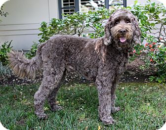Labradoodle Mix Dog for adoption in Newport Beach, California - CURLY