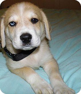 Husky/Labrador Retriever Mix Puppy for adoption in Bel Air, Maryland - Bear (blue eye!*)