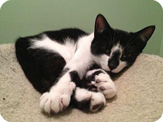 Domestic Shorthair Kitten for adoption in East Hanover, New Jersey - Avatar