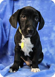 Retriever (Unknown Type)/Australian Kelpie Mix Puppy for adoption in Westminster, Colorado - Need to Breathe