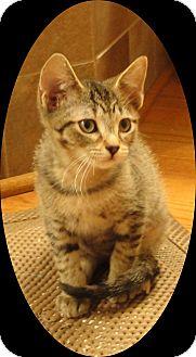 Domestic Shorthair Kitten for adoption in Mt. Prospect, Illinois - Linden