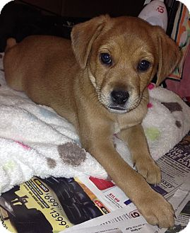 Chihuahua/Retriever (Unknown Type) Mix Puppy for adoption in Encino, California - Errol Flynn