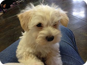 Cairn Terrier Puppy for adoption in Kansas city, Missouri - Griffin