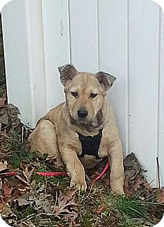 Shepherd (Unknown Type) Mix Dog for adoption in Russellville, Kentucky - Colin