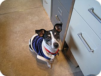 Rat Terrier Mix Dog for adoption in Hanna City, Illinois - Tiny