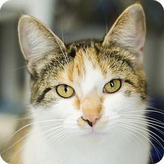 Domestic Shorthair Cat for adoption in Adrian, Michigan - Ari