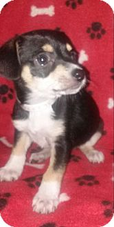 Chihuahua Mix Puppy for adoption in Houston, Texas - DAZZLE