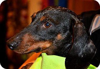 Dachshund Dog for adoption in Toronto, Ontario - Madison