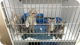 Domestic Shorthair Kitten for adoption in Crown Point, Indiana - Eve