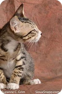 Domestic Shorthair Kitten for adoption in New Orleans, Louisiana - Volt