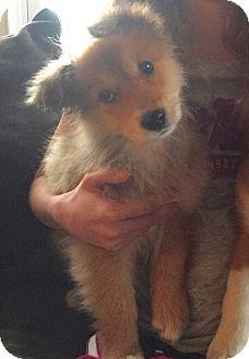 Australian Shepherd/Collie Mix Puppy for adoption in Sagaponack, New York - Sophia