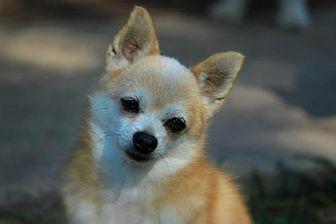 Pomeranian/Chihuahua Mix Dog for adoption in Benton, Louisiana - Miles