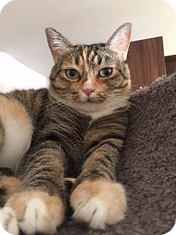Domestic Shorthair Cat for adoption in Pacific Palisades, California - Owlie