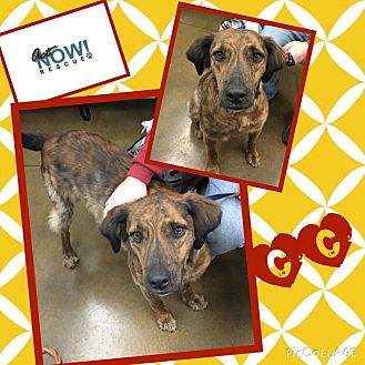 German Shorthaired Pointer/Plott Hound Mix Dog for adoption in waterbury, Connecticut - CC