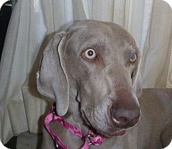 Weimaraner Puppy for adoption in Rolling Hills Estates, California - Nina