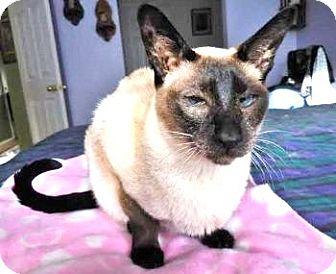 Siamese Cat for adoption in Davis, California - Cleopatra