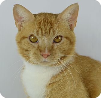 Domestic Shorthair Cat for adoption in LAFAYETTE, Louisiana - ATLAS