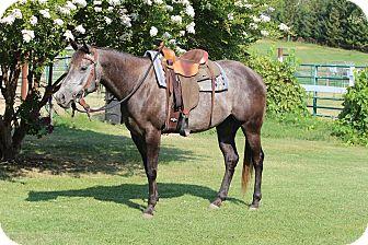 Quarterhorse Mix for adoption in Oakdale, California - Iris