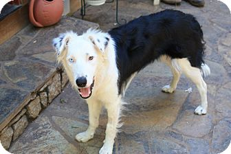 Border Collie Mix Dog for adoption in Corning, California - SKY