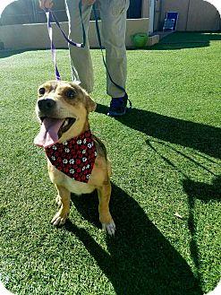Chihuahua Mix Dog for adoption in Newport Beach, California - Roo
