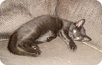 Domestic Shorthair Kitten for adoption in Hendersonville, North Carolina - Venus