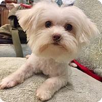 Adopt A Pet :: Lucy - Santa Ana, CA