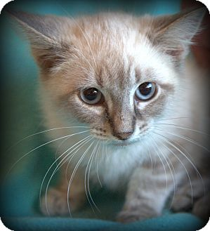 Siamese Kitten for adoption in Staunton, Virginia - Allspice