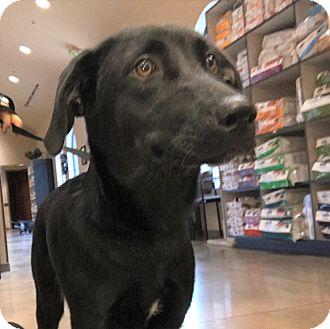 Labrador Retriever Mix Puppy for adoption in Redmond, Washington - Zara