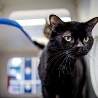 Domestic Mediumhair/Domestic Shorthair Mix Cat for adoption in Windsor, Ontario - Denis