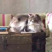 Adopt A Pet :: Chinchilla - THORNHILL, ON