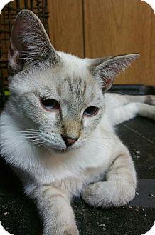 Siamese Kitten for adoption in Morganton, North Carolina - Eli