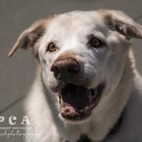 Adopt A Pet :: Calvin - Kalamazoo, MI