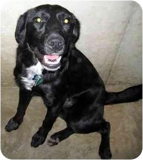 Labrador Retriever/Border Collie Mix Dog for adoption in Overland Park, Kansas - Cora