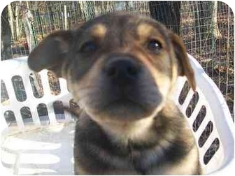 Husky Mix Puppy for adoption in Windham, New Hampshire - Blossom