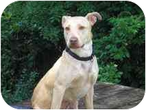 American Staffordshire Terrier Mix Dog for adoption in Nashville, Tennessee - Lily