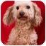 Photo 2 - Poodle (Toy or Tea Cup) Dog for adoption in Anna, Illinois - BON BON