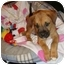 Photo 3 - Boxer/Shepherd (Unknown Type) Mix Puppy for adoption in Windham, New Hampshire - Coleslaw