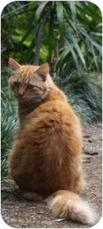 Domestic Longhair Cat for adoption in Makawao, Hawaii - Andy Cap