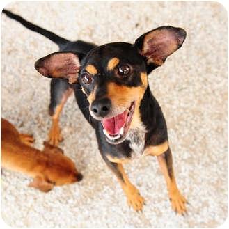 Miniature Pinscher/Terrier (Unknown Type, Small) Mix Dog for adoption in Boynton Beach, Florida - Blackie