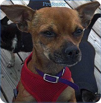 Chihuahua Mix Dog for adoption in Encinitas (San Diego), California - Professor