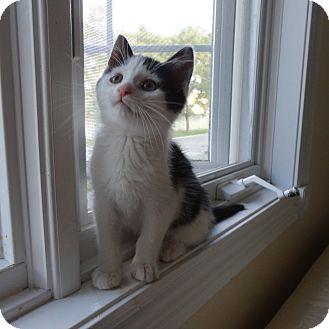 Domestic Shorthair Kitten for adoption in Toronto, Ontario - Oliver