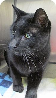 Domestic Shorthair Cat for adoption in South Haven, Michigan - Scooby