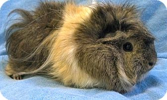 Guinea Pig for adoption in Lewisville, Texas - Hairy Potter