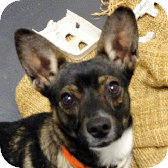 Chihuahua Mix Dog for adoption in Ithaca, New York - Mila