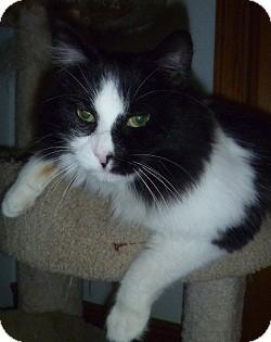 Domestic Shorthair Cat for adoption in Hamburg, New York - Eddie