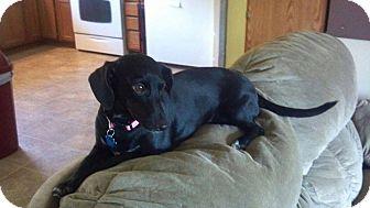 Dachshund/Chihuahua Mix Dog for adoption in Hancock, Michigan - Hazel Lu (Sponsored)